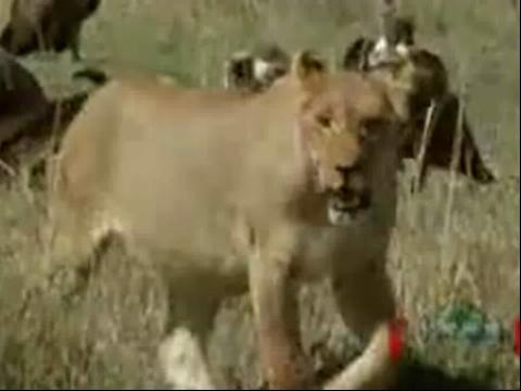 老虎和狮子打架#$