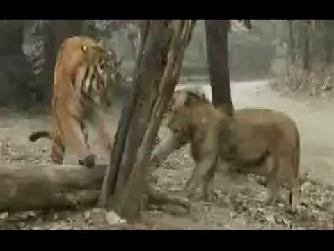 自然传奇 老虎pk狮子图片大全 自然传奇狮子大战水牛 自然传奇狮子大