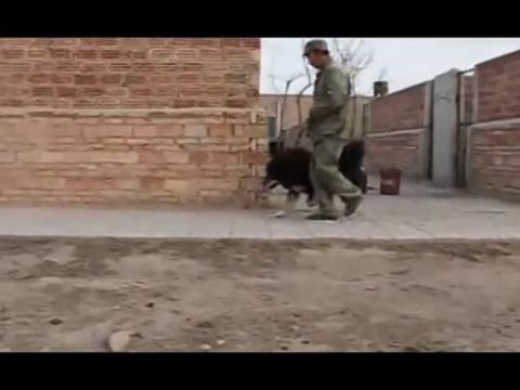 热点视频 鬼獒和藏獒打架视频   鬼獒和藏獒打架视频 藏獒高清图片