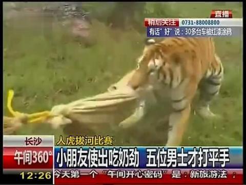 实拍长沙动物园人虎拔河比赛
