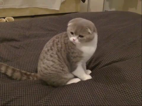 顽皮的猫咪卧床翻滚卖萌