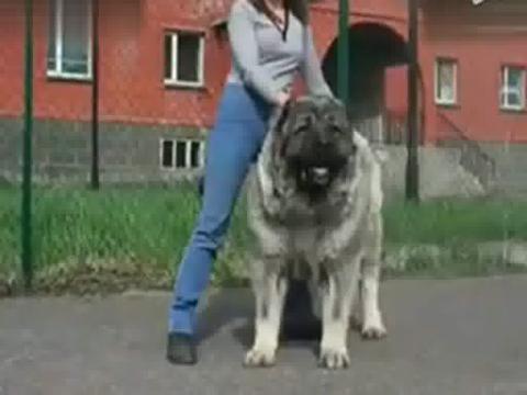 高加索犬与藏獒打架 藏獒串高加索犬图片 藏獒串高加索犬高清图片